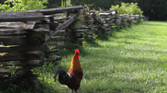 Rooster Walks Along Wooden Gate Stock Footage