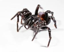 Funnel web spider Stock Illustration