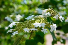 Stock Photo of arrowwood (viburnum) flowers