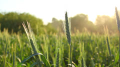 Bright wheat field close-up with blurred background Stock Footage