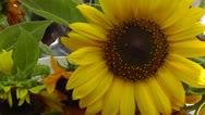 Farmer's Market Sunflower Stock Footage