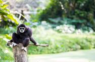 Stock Photo of white hand gibbon