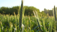 Close-up of a wheat field in summer, bright rays of the morning sun, panning Stock Footage
