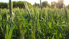 Bright wheat field in summer, bright rays of the morning sun Stock Footage