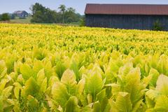 Tobacco farm Stock Photos