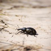 large pine weevil (hylobius abietis) - stock photo