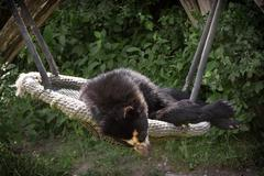 The spectacled bear (tremarctos ornatus) Stock Photos