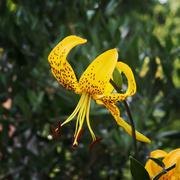Yellow lily flower (lilium lancifolium) Stock Photos