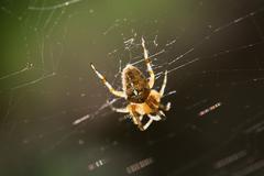 garden cross spider on the spiderweb - stock photo