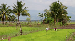 Rice Field Paddy Tropical Palm Trees FARMER PLANTING Stock Footage