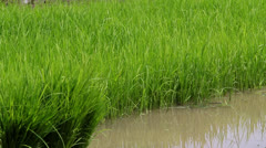 Rice Field Paddy Tropical Stock Footage