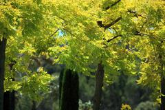 leafy trees with yellow foliage - stock photo