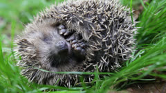 Scaring curled hedgehog - stock footage