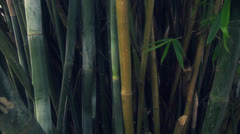 Bamboo forest Stock Footage