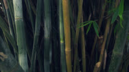 Stock Video Footage of Bamboo forest