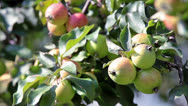 Stock Video Footage of Ripening apples on a branch close up view