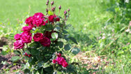 Stock Video Footage of Red shrub roses in the garden on a green grass