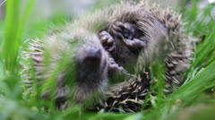 Scaring curled hedgehog Stock Footage