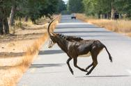 Stock Photo of Female sable antelope running