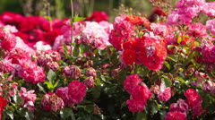 flower bed of red flowers roses - stock footage
