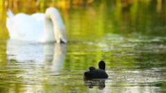 Common Coot and Mute Swan feeding in the lake Stock Footage