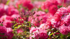 Flower bed of red flowers roses Stock Footage