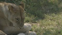 Lioness cleans paws Stock Footage