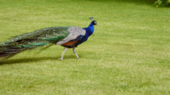 Peacock crossing green lawn Stock Footage
