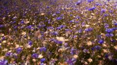 Flowers cornflowers on a summer meadow Stock Footage