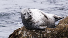 Harbor seal Stock Footage