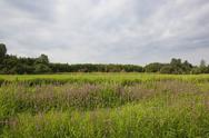 Stock Photo of landscape with marsh woundwort