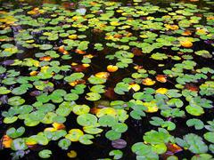water lily lake - stock photo