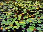 Stock Photo of water lily lake