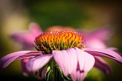 inflorescence of echinacea - stock photo