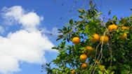 Stock Video Footage of Oranges on the tree against blue sky in morning breeze.