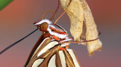 Gulf Fritillary Butterfly Macro Stock Footage
