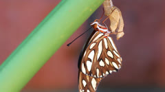 Gulf Fritillary Butterfly Close Up Stock Footage