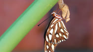 Stock Video Footage of Gulf Fritillary Butterfly Close Up