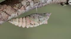 Black Swallowtail Pupa Stock Footage