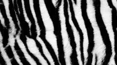 Zebra fur - stock footage