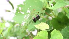 0031 Japanese Beetles On Grape Leaves Stock Footage