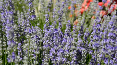Bees on Lavender in the Wind 1 - stock footage