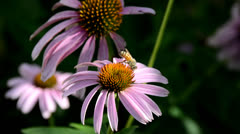 Bees on Echinacea Flowers 3 Stock Footage