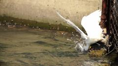 Snowy Egret Diving Into Water In Super Slow Motion Stock Footage