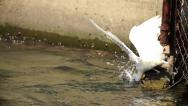 Stock Video Footage of Snowy Egret Diving Into Water In Super Slow Motion