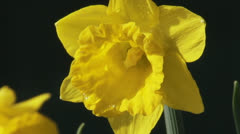 Daffodil Narcissus Little Gem - close up Stock Footage