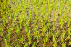 Rice paddy growth Stock Photos