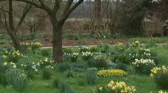 Flower bulbs, daffodils and anemone blanda  blooming in farmyard + pan Stock Footage