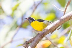 Bananaquit bird (coereba flaveola bonariensis) Stock Photos