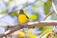 bananaquit bird (coereba flaveola bonariensis) - stock photo